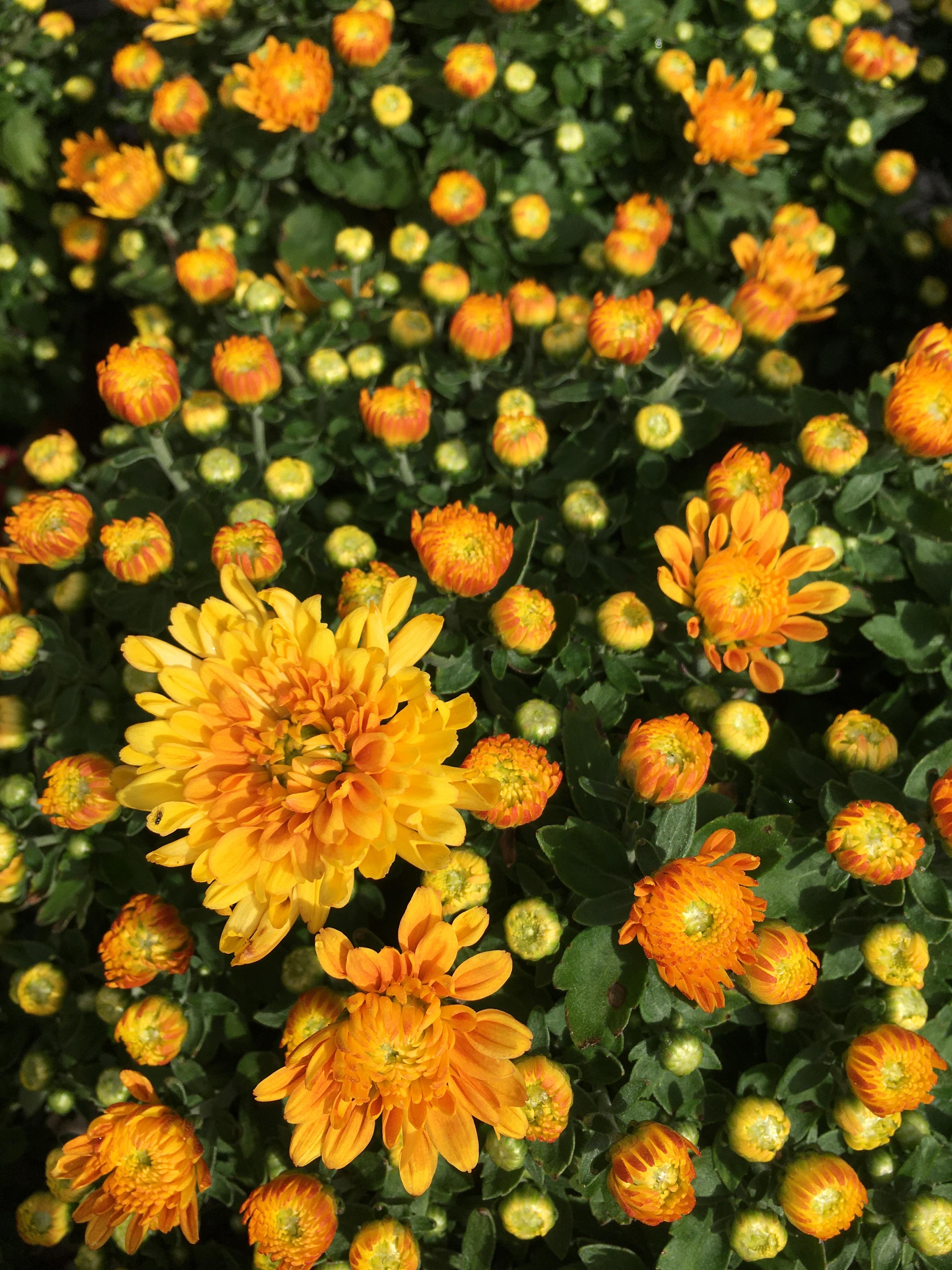 Chrysanthemums, IMG_7222